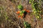 Leonotis ocymifolia var. ocymifolia