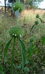 Leucas martinicensis
