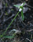 Leucas milanjiana