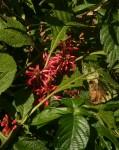 Achyrospermum carvalhi var. carvalhi
