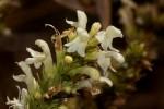 Clinopodium myrianthum