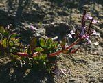 Aeollanthus serpiculoides