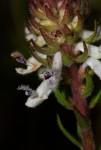 Aeollanthus subacaulis var. subacaulis