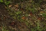 Endostemon tenuiflorus