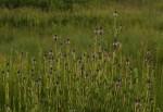 Pycnostachys reticulata
