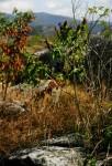 Pycnostachys urticifolia