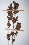 Plectranthus guerkei