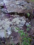 Plectranthus hadiensis