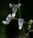 Plectranthus laxiflorus