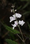 Plectranthus swynnertonii