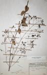 Plectranthus baumii