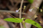 Plectranthus djalonensis