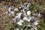 Haumaniastrum caeruleum