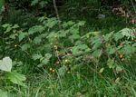 Solanum aculeatissimum