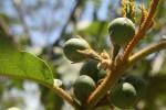 Solanum chrysotrichum