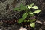 Solanum retroflexum