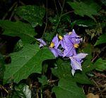 Solanum richardii var. acutilobatum