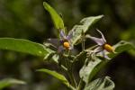 Solanum tettense var. renschii
