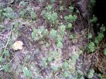 Limnophila indica