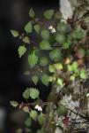 Stemodiopsis buchananii var. pubescens