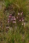 Sopubia mannii var. tenuifolia