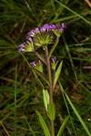 Buchnera cryptocephala var. cryptocephala