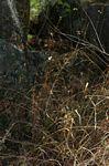 Buchnera eylesii