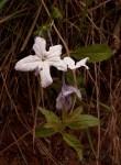Cycnium adonense subsp. adonense