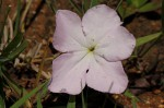 Cycnium tubulosum