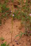 Striga gesnerioides