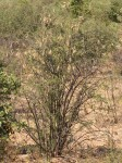 Rhigozum brevispinosum