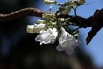 Jacaranda mimosifolia
