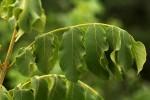 Markhamia obtusifolia