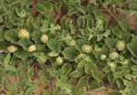 Dicerocaryum eriocarpum