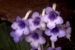Streptocarpus michelmorei
