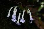Streptocarpus solenanthus