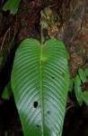 Streptocarpus umtaliensis