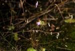 Utricularia pentadactyla