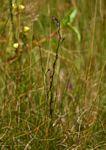 Utricularia tortilis