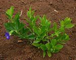 Thunbergia oblongifolia