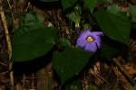 Thunbergia petersiana