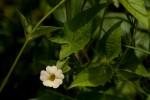 Thunbergia reticulata