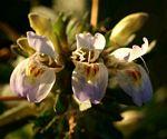Hygrophila schulli