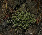Hygrophila pilosa