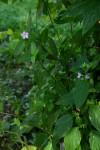 Ruellia prostrata