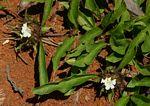 Crabbea cirsioides