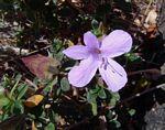 Barleria crassa subsp. crassa