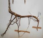 Barleria rhodesiaca