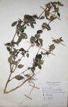 Barleria spinulosa subsp. spinulosa
