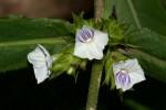 Neuracanthus africanus